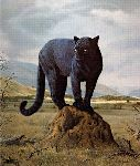 Black Leopard by Charles Frace