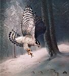 Northern Goshawk by Charles Frace