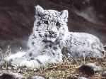 Baby Snow Leopard by Charles Frace
