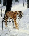 Siberian Tiger by Charles Frace