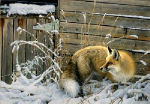Shed Door Fox by Nancy Glazier
