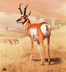 Pronghorn by Charles Frace