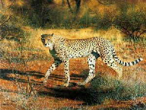 Cheetah by Charles Frace