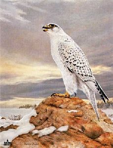 Gyrfalcon by Charles Frace