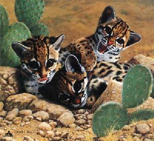 Ocelots by Charles Frace
