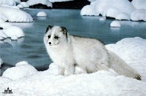 Alaskan Friend (Arctic Fox) by Charles Frace